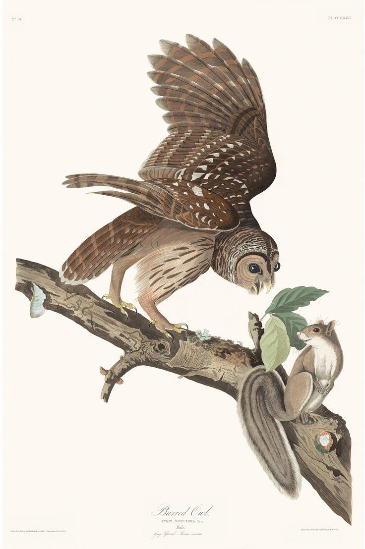 Rare Prints Barn Owl