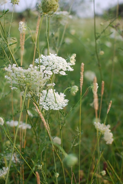 Queen Anne's Lace, it may be a weed but it sure is beautiful