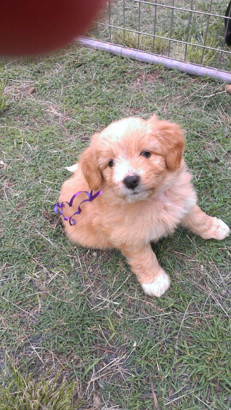 Bordoodle Puppie ( Border Collie x Toy Poodle)