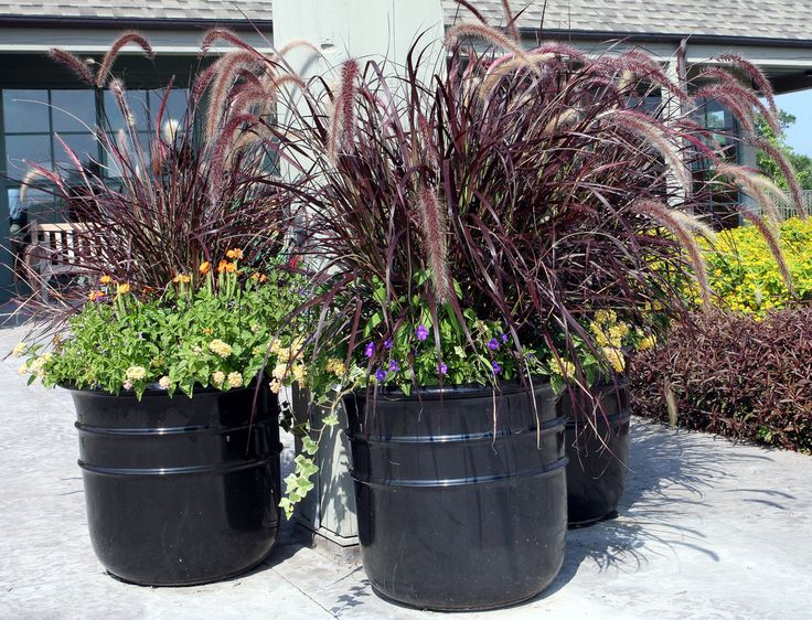 79 best images about fountain grass container on pinterest for Tall grasses for pots