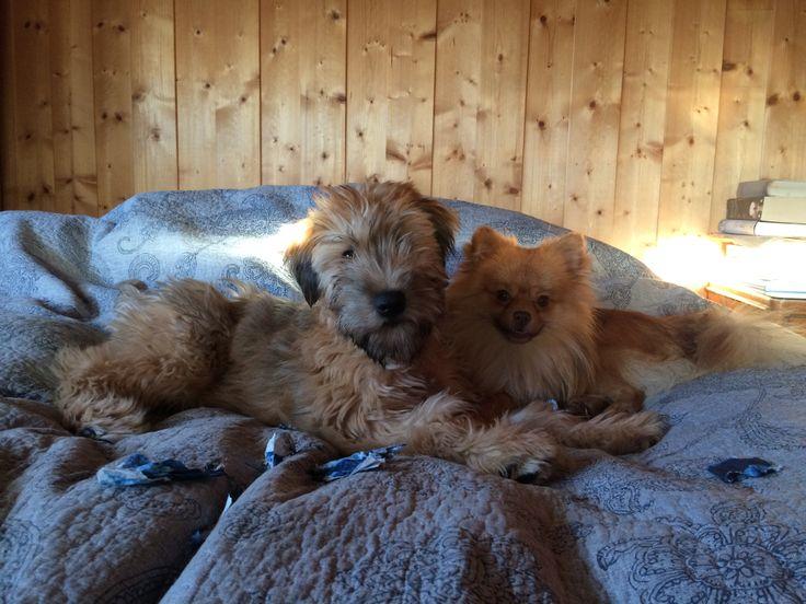 Weathen terrier and Pomchi - Vilja and Theo