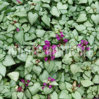 image de Lamium maculatum Beacon Silver