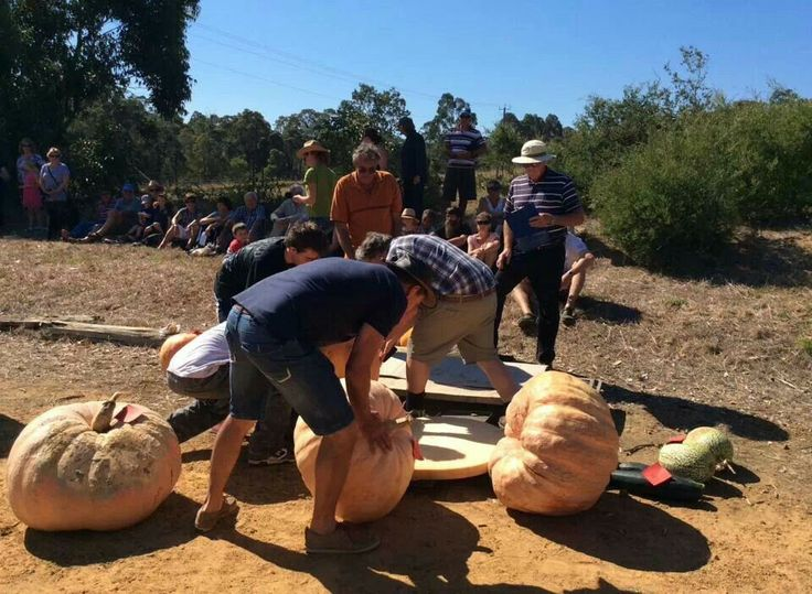 Weighing in the Kalgan Pumpkin growing contest.  Winner was the local doc at 83kg.
