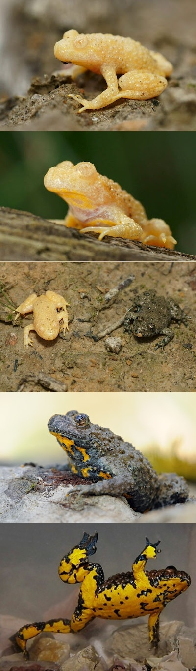 Wax Statue Toad -These are photographs of an albino morph of a Yellow-bellied Toad (Bombina variegata) with photographs of a normal colored Toad. I included a link to the photographer.