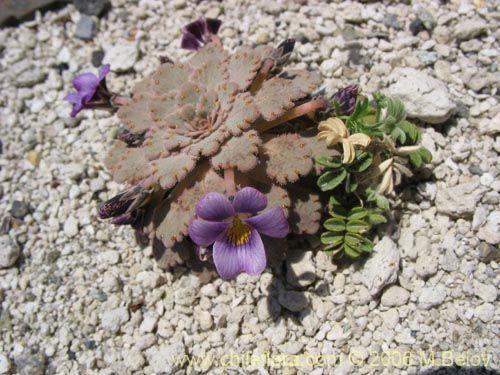 Image of Viola congesta (Violeta de los volcanes). Click to enlarge parts of image.