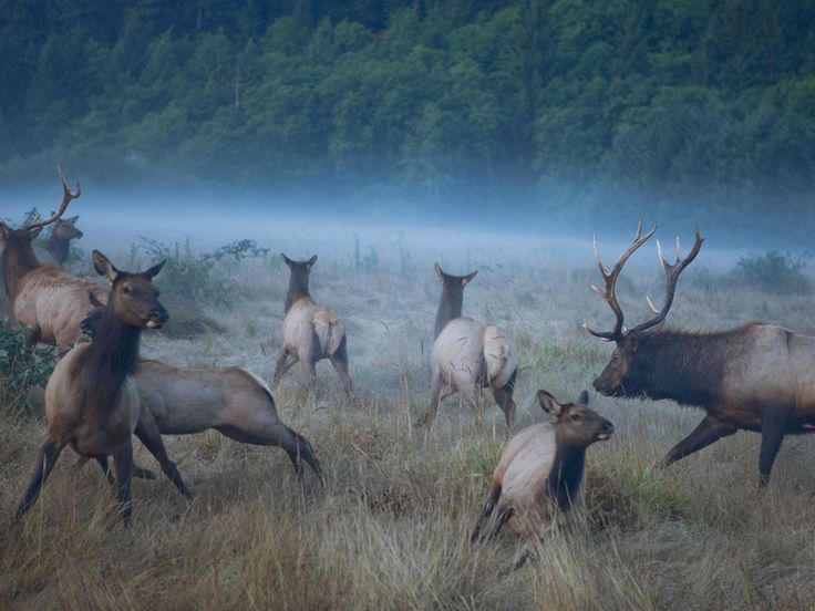 A gang of Roosevelt elk cows scatter across a meadow in Prairie Creek Redwoods State Park as two bulls vie for dominance of the herd. Largest of North America's elk subspecies, their name honors conservationist President Theodore Roosevelt