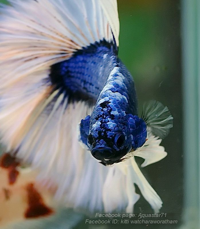17 best images about betta on pinterest auction red for What fish are compatible with betta fish
