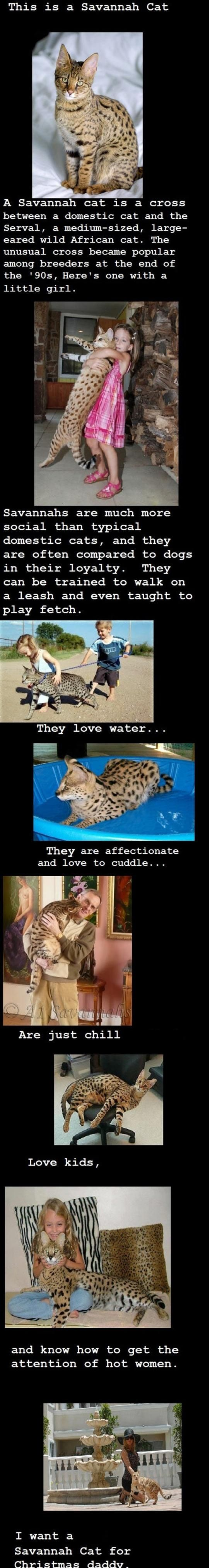 Now i want savannah cat