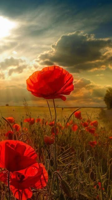 Poppy Field in the Sunny Day   Most Beautiful Pages
