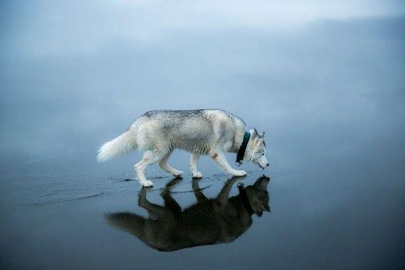 まるで水上散歩。凍った湖の上を歩く美しきシベリアンハスキー(ロシア)