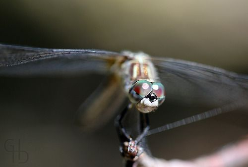 The Face Of A Dragon, 2010. A Vancouver Island dragonfly that was kind enough (or vain enough) to pose long enough for me to get some great ...