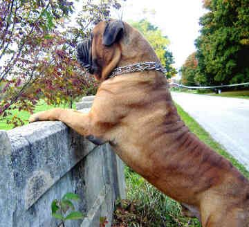 """Look!! What is he doing in my backyard?"" #bullmastiff #dog"