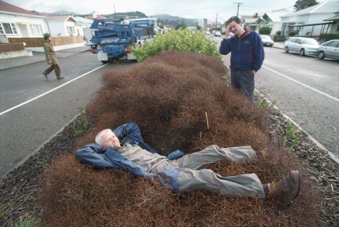 Muehlenbeckia astonii - a robust plant! Photo by Craig Simcox