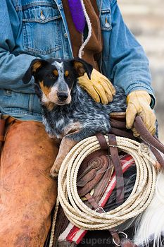 Cowboy sitting on a horse holding his Blue heeler dog