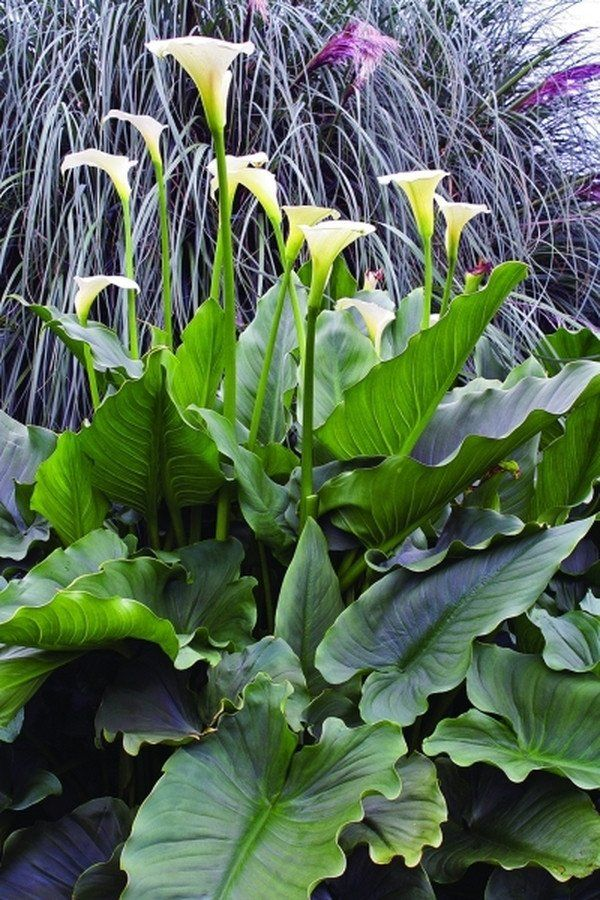 """Zantedeschia aethiopica 'Swartberg Giant' Zones: 7b to 10b, at least Height: 54"""" tall Culture: Sun to Part Sun Origin: South Africa"""
