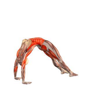 #URDHVA DHANURASANA Upward bow pose with straight legs. Awesome illustration.