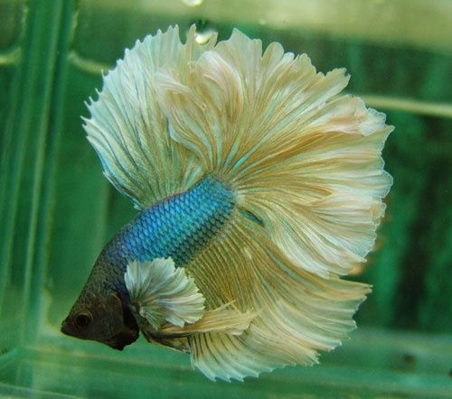 elephant ear betta fish big ears blue platinum halfmoon