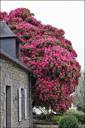 This immense Crepe Myrtle is the most visible part of this garden.