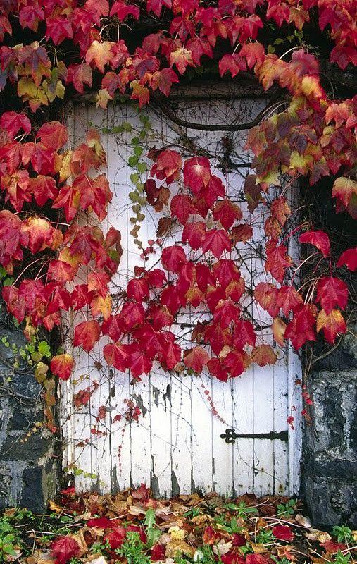 Niente è più decorativo di una parete ricoperta di foglie rosse d'autunno!