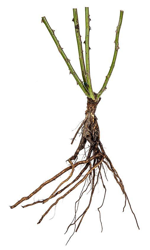 выращивают корни розы фото роскошными телами зрелые