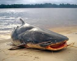 piraiba fish - Google Search