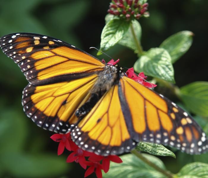 Earning its name: Monarchs were given their common name in 1874 by American entomologist Samuel Scudder, who wrote,