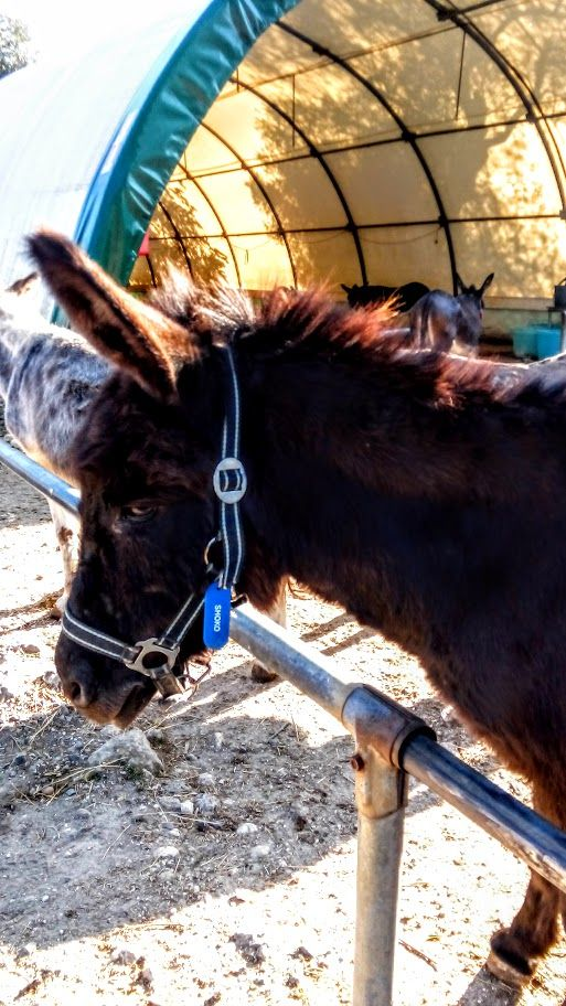 Schoko from Corfu Donkey Rescue