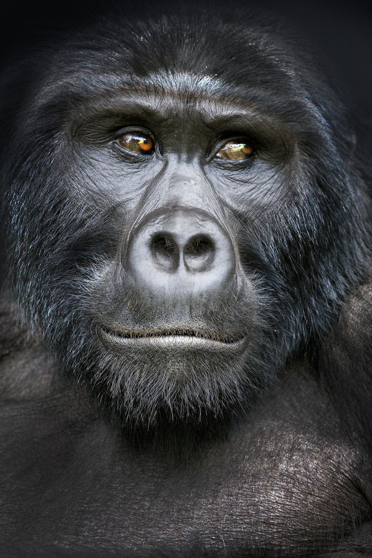 85 best gorillas images on pinterest wild animals animals and