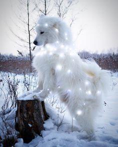 Star light, star bright samoyed @annakasatkinaru