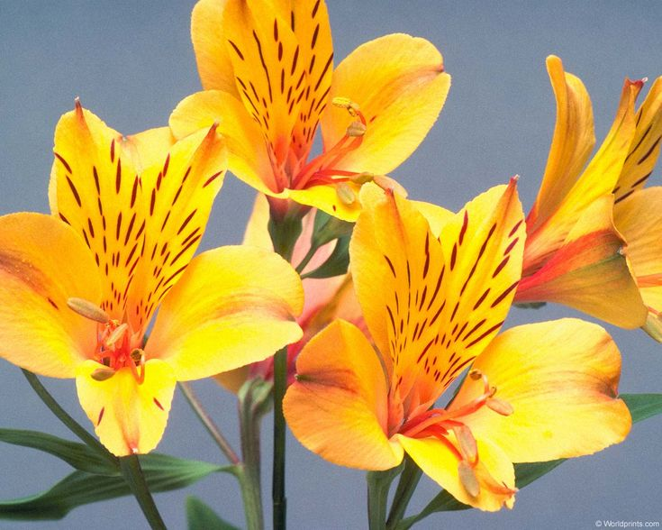 Alstroemeria (Peruvian Lily) ------Meaning: Devotion, Wealth, Prosperity, Fortune.