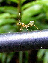 Green Tree Ants - Skyrail Nature Diary - Skyrail