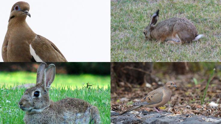 Inicia temporada de caza de conejo, liebre, paloma alas blancas y huilota