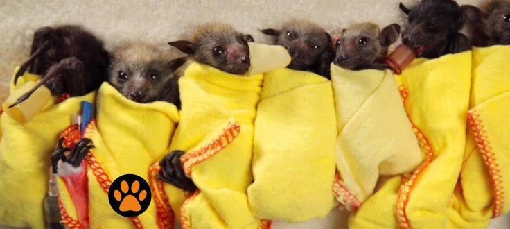 Guardate questi cuccioli di pipistrello, siete sicuri che siano poi così spaventosi? Wakaleo pensa di no.