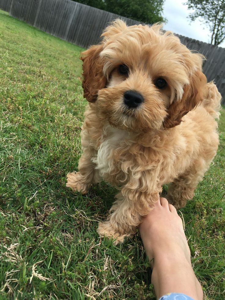 Cockapoo Puppy Dog So Cute Tiny Cocker Spaniel Poodle Mix -1334