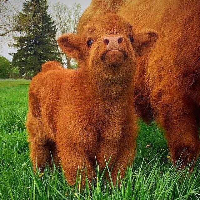 Highland cow calf! Good god I just died of cuteness overload, baby cow!!!!!