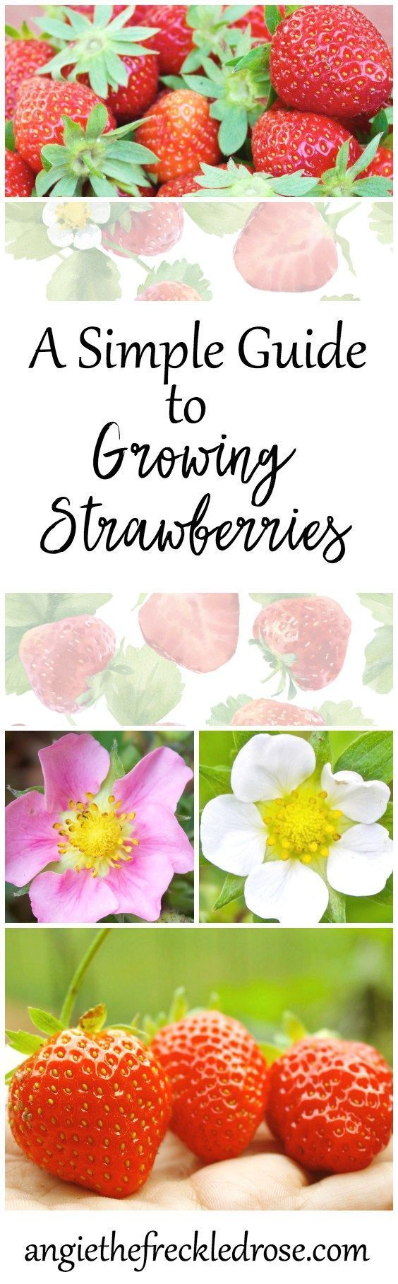 When I first started gardening, I couldn't wait to try growing strawberries! These red berries are jam-packed full of vitamins, fiber and antioxidants. I can never resist a bite of a plump, juicy and sweet strawberry. I remember visiting my local garden nursery and noticing these bright red hanging baskets. As I got closer, I noticed they were filled with flowering strawberry plants. What? You can grow them like this? In fact, you can indeed grow berries in hanging baskets.