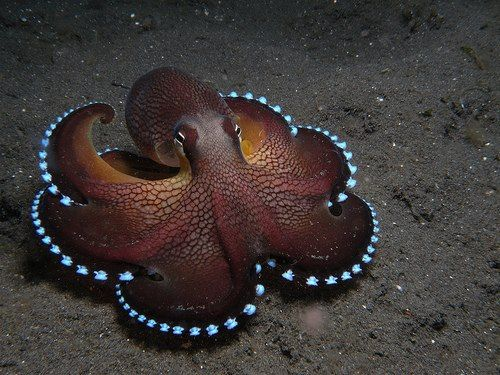 Cool Looking Octopus - That Is A Blue Ringed Octopus One Of The Most Poison Type Of Octopus - Vampire Octopus