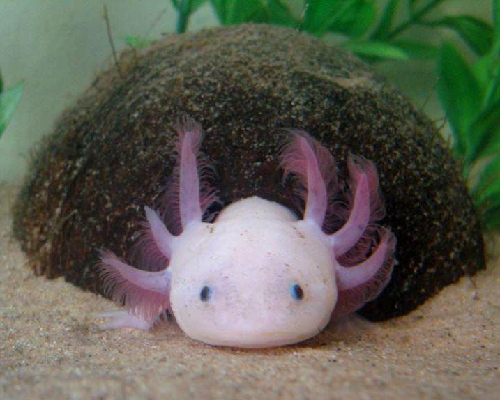 17 best ideas about axolotl care on pinterest axolotl for Betta fish care sheet