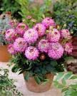 ГЕОРГИНА Melody Dixie  Низкорослые георгины – могут иметь разное строение соцветий и относиться к разным группам георгин (бордюрные георгины, балконные георгины, галлери георгины, топмикс георгины и т.д.) . Но у них есть одно общее свойство – необычайная популярность в последнее время. Низкорослые георгины - небольшие растения, сплошь покрытые соцветиями, отлично служат передним краем бордюра, а также в качестве контейнерных посадок для украшения террас, балконов и веранд.
