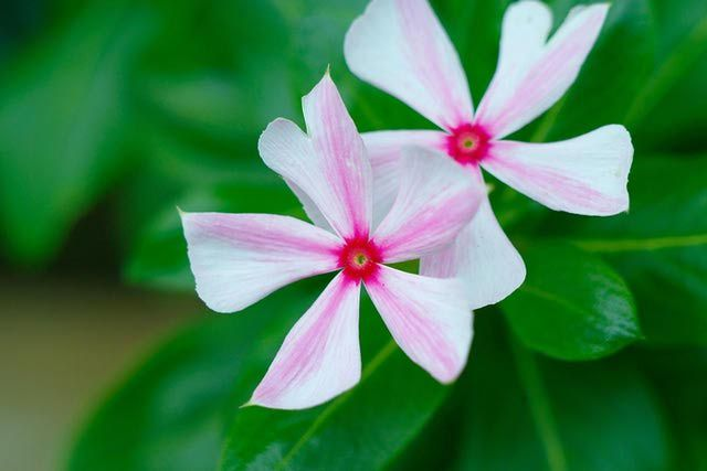 Annual Vinca Flowers - The Madagascar Periwinkle
