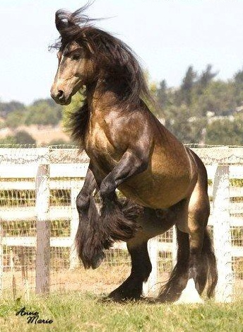 Duke - Sooty Black Buckskin Stallion
