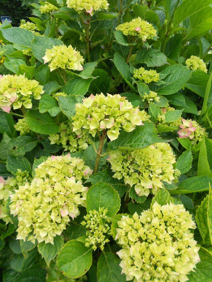 Green hydrangea (hortensia)