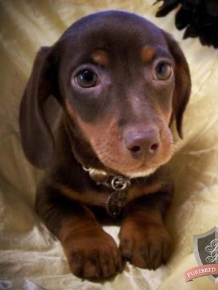 I Find  all daschunds SOOO absolutely adorable, I need to get  one!