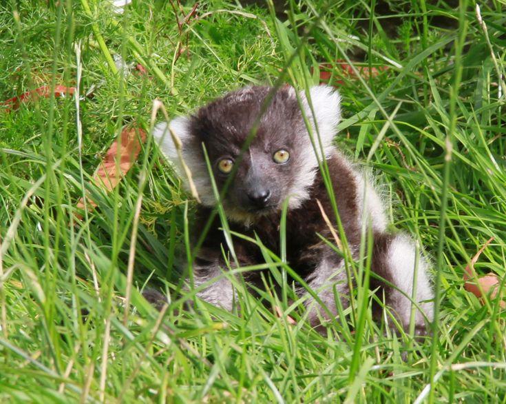 Paraic, the new Black & White Lemur baby at Fota Wildlife Park