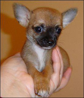 Teacup Chihuahua | ... of teacup chihuahua: chihuahua breed history | famous chihuahua
