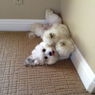 They always want to play. | 16 Reasons The Coton De Tulear Should Be Your Favorite Dog Breed