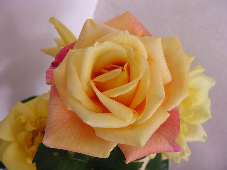 La bella sconosciuta. La rosa più bella che io abbia mai visto, purtroppo non ne conosco il nome. Ha un profumo meraviglioso che eguaglia il suo splendore.