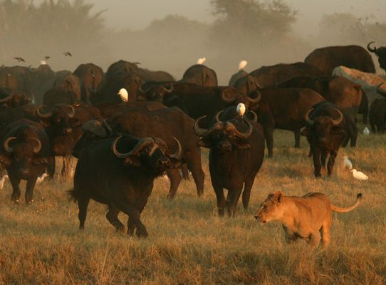 Exceptional wildlife sightings on Duba Plains in Botswana. The new magnificent expedition camp will open shortly.