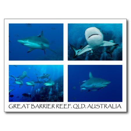 A beautiful postcard featuring a variety of reef sharks. The photos were taken during a shark feed at Osprey Reef about 200km off the north east coast of Australia. #fish #coral #reef #scuba #diving #animals #marine #shark #sharks #postcard