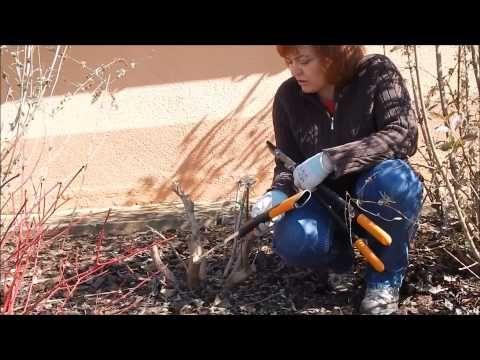 Nyári orgona (Buddleia) metszése - YouTube